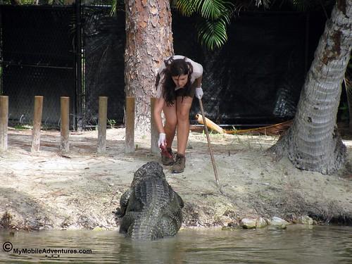 IMG_2106-Naples-Florida-zoo-gator-feeding-time