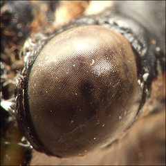 ~ Eye see you too ~ (ViaMoi) Tags: ontario canada bug cicada insect fly ottawa locust loud buzzing auchenorrhyncha cicadoidea dryflies 17yearlocust viamoi jarflies