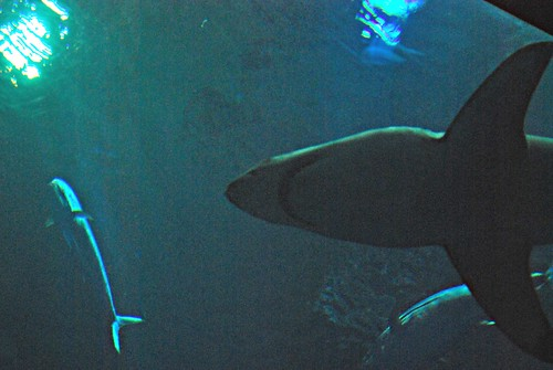 White shark at Monterey Bay Aquarium