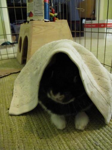 Oreo in her blankie.