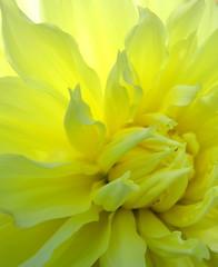 Luz Amarilla (Puzzler4879) Tags: flowers luz amarillo backlit yellowflowers dahlias backlighting doublefantasy floralfantasy perfectpetals yellowdahlias a580 flowersmakeeveryonehappy canona580 canonpowershota580 powershota580 flowersexcellentcloseups flowersonflickr mamasbloomers photographersgame