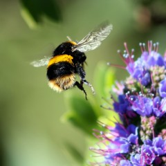 A berry big bumble bee bottom.... (Mary Trebilco) Tags: flower green nature garden notmine spring purple flight wing bee bumblebee tasmania echium