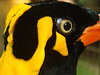 hill mynah (goatsfoot) Tags: park bali bird eye closeup indonesia head hill wattle religiosa mynah gracula