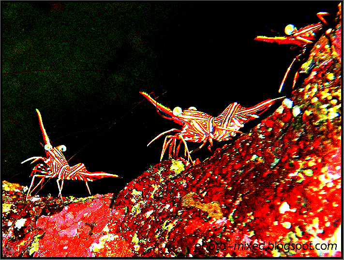 Striped hinge-beak shrimp