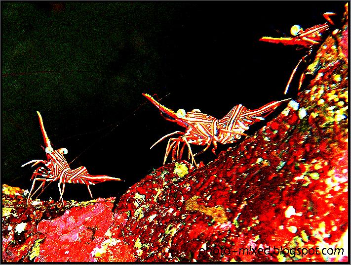 Striped hinge-beak shrimp