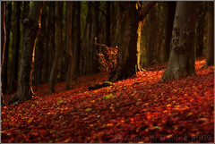 Return to Coed y Wenallt - Autumn Style (andrewwdavies) Tags: andrewwilliamdavies canoneos40d canonef70200mmf28lisusm canonspeedlite580exii colourtemperatureorange full cto pocketwizard plusii minitt1 hypersync tripod autumn sunset trees leaves fallen carpet warm light shadows fern bracken woodland dappled sun forest coedywenallt cardiff caerphilly mountain mynydd caerffili caerdydd south wales orton effect softfocus dreamy explore explored giap