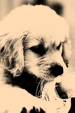 puppy - Sepia