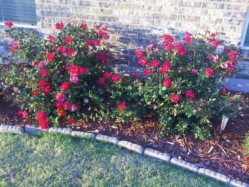 Our Knockout Roses