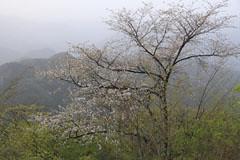 九鬼山山頂の山桜