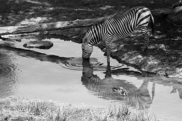 animals zebra b&w