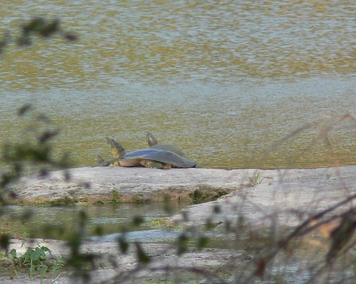 Softshell Turtle and Red-eared Sliders