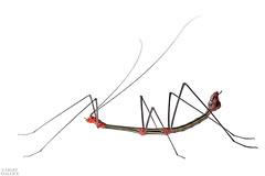 Aposematic stick insect (Oreophoetes peruana) (ggallice) Tags: stickinsect phasmatodea oreophoetesperuana male aposematic bigalriverbiologicalreserve riobigal orellana ecuador amazon rainforest jungle southamerica insect