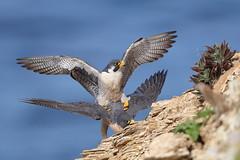 Mating season (charlescpan) Tags: peregrine