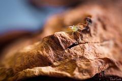 Monstruos diminutos (Krrillo) Tags: roja david carrillo krrillo sony a6000 35mm neewer f17 fotografia photography anillos aproximación macro rosa seca araña spyder