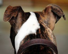Watchin' (>Shannon<) Tags: cute beautiful puppy nikon sweet ears pitbull missouri collar pitty westplains perked d300 diamondclassphotographer flickrdiamond americanstaffordbullterrier
