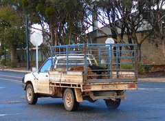 Dogs in the Tray of a Ute