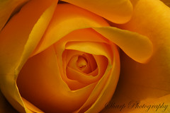 Yellow Rose 3 (RokShots) Tags: flowers flower macro nature rose yellow closeup garden petals sony naturesfinest top20flowers sigma105mm sonyalpha diamondclassphotographer top20everlasting