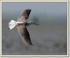 Common Greenshank (Tringa nebularia) (Z.Faisal) Tags: bird nature nikon beak feathers waterbird aves tringa nikkor common bangladesh avian pati bipedal bangla faisal desh d300 zamir wader commongreenshank coxsbazar greenshank tringanebularia nebularia pakhi endothermic nikkor300mmf4 sonadia gotra zamiruddin zamiruddinfaisal zfaisal tajiakatarchar tajiakatar patishobujpa shobujpa