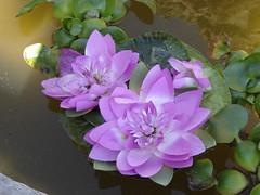 Flor lila la planta que se alimenta de agua (andaluza catalana) Tags: luz agua sombra vitamina abono florlila flordeagua colordorado hajasverdes