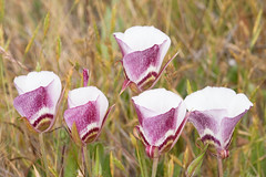 Calochortus argillosus - MH 5 (gaiagraphics) Tags: california wildflowers centralcoast slo sanluisobispo californiacentralcoast californiawildflowers cnps californianativeplantsociety marlinharms gaiagraphics sanluisobispowildflowers slowildflowers slowildflowerbook centralcoastwildflowers cnpssanluisobispochapter gaiagraphicsandassociates sanluisobispowildflowerbook sanluisobispocaliforniacentralcoast