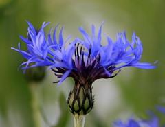 Monday Blues (DDA / Deljen Digital Art) Tags: uk blue england plant flower colour leaves fauna garden landscape petals stem pretty sunderland tynewear whitburn asshot