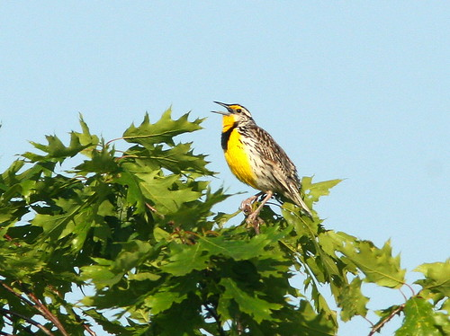 Eastern Meadowlark 20090605