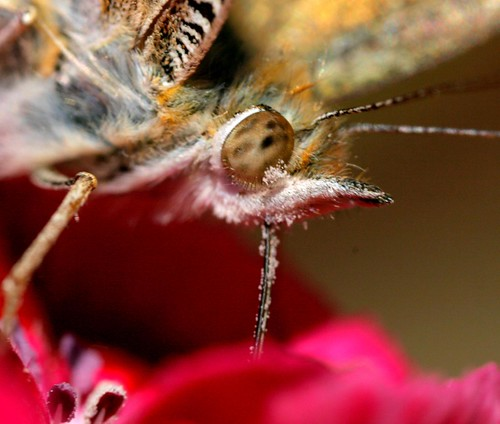 Painted lady closeup