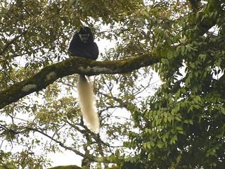 Mono rabo blanco - Parque Nacional Arusha - Tanzania_1