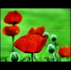 Study in Red and Green (Andrea Kollo Photography) Tags: flowers toronto ontario canada flower macro nature gardens garden cards interestingness nikon dof bokeh depthoffield explore gta greetingcard horticulture floralprint macrophoto naturephotography greetingcards macrophotography artprint flowerart natureart gardentour floralprints nikond200 explored yorkregion eventphotography ontariophotographer nobleton macrophotograph flowercards kingtownship naturephotographs nikonphotography nikonphoto natureprints bokehphotography flowerartcards bokehphoto bokehphotographs floralgreetingcards floralartprint floralartprints flowerartprint flowerartprints floralgreetingcard andreakolloontariophotographer natureartprints copyrightandreakollo estategardenphotography gardentourphotography communtyprofiles communityprofilephotography wwwandreakollophotography natureflowerphotographs floralartcards horticultureprints horticultureprint horticulturegreetingcard nobletonkingtownship kingtownshipgardens nobletongardens