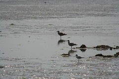 Three of a kind (bert1954) Tags: meeuwen texel fotovogelworkshop