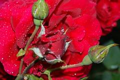 Rosen im Regen (Ellenore56) Tags: pink flowers red sun flower color rot love nature fleur colors beautiful rose germany garden deutschland perfume flavor natur pflanze rosa blumen gelb crop alemania rosen lovely mygarden blume sonne farbe garten liebe yello germania odor farben flore flavour  myflowers odour sehnsucht duft schmerz niedersachsen lowersaxony  myrose nture twinge larosa wunderschn laflor meingarten dslra350 sonya350 desirefor republicafederaldealemania ellenore56