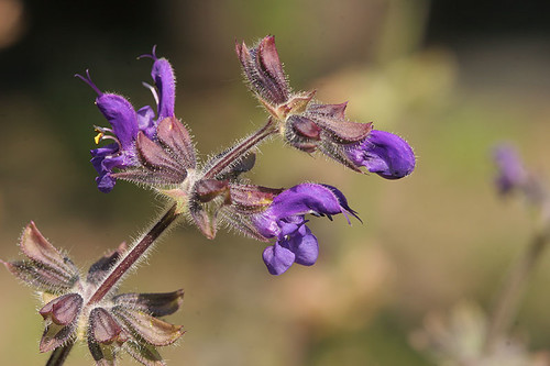 Salvia sp. (Rome Forum)