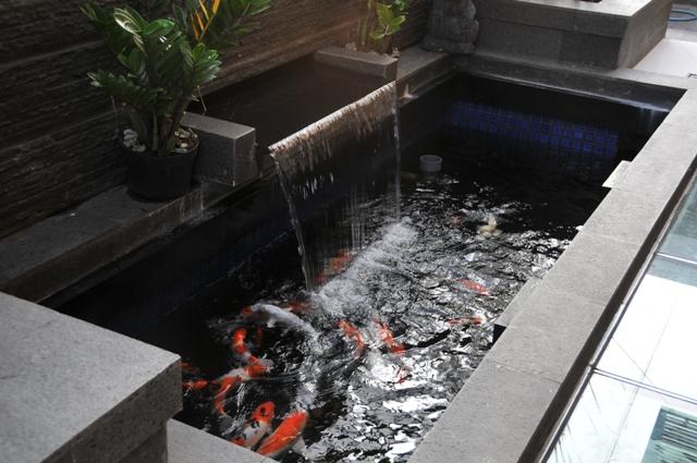 Semua Tentang Ikan Koi Jenis Desain Kolam Sistem Filtrasi