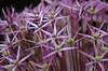Purple Flower (RoKeZH) Tags: summer flower macro green field d50 garden nikon blossom bloom alium abigfave platinumheartaward