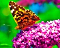 Distelfalter (gatowlion) Tags: flower color colour macro butterfly fuji action s9500 schmetterling bildbearbeitung distelfalter
