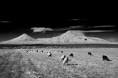 Ararat with sheeps (paronsuren) Tags: park travel sunset wallpaper cliff mountain snow cold tree ice nature beautiful grass rock america sunrise season landscape climb high scenery looking view natural outdoor snowy background postcard south extreme scenic peak hike alpine freeze armenia summit environment temperature icy majestic challenge snowcovered ararat geographical whitesheeps