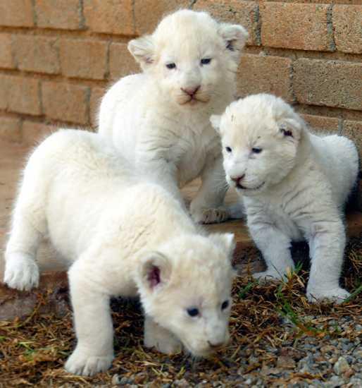 El Leon Blanco, Precioso Animal En Extincion
