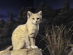 Arabian sand cat (gentle lemur) Tags: bristolzoo sandcat felismargaritaharrisoni