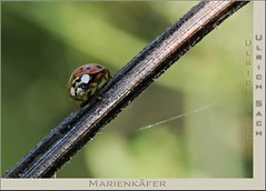 _DSC3897 Marienkfer (Weinstckle) Tags: marienkfer makro insekt