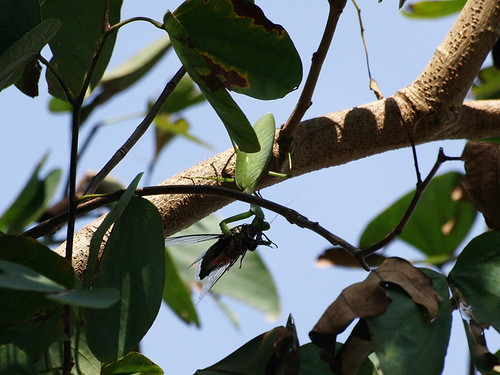 你拍攝的 螳螂捕蟬。