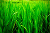 hiding in the rice fields (ion-bogdan dumitrescu) Tags: bali green field indonesia rice fresh hide fields hiding bitzi summer09 ibdp mg8458 findgetty ibdpro wwwibdpro ionbogdandumitrescuphotography
