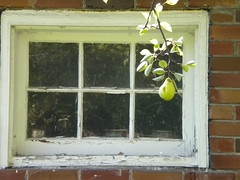 Pear and Window (notfarfromthetree.org) Tags: toronto pears harvest apples seenonflickr nfftt