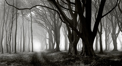 Trees in the Mist 2, Northumberland (welshio) Tags: travel autumn trees bw mist film nature monochrome leaves silhouette misty fog composition contrast forest mediumformat landscapes scary ancient woods flora woodlands scenery quiet gloomy sinister perspective peaceful eerie calm scan haunted creepy depthoffield spooky alnwick views mysterious romantic mystical remote lonely deciduous picturesque legacy lightandshadow tranquil atmospheric beech nothumberland mystic zonesystem seamist pictorial enchantedforest sleepyhollow treetrunks haar beechtrees lightdark classiccomposition naturallandscapes mirkwood mirky deciduouswoods spookyscene mywinners pullprocess treesinthemist thesecretlifeoftrees flickvault kunstgriffskunstgriffe kunstgriffskunstgriffehalloffame kunstgriffskunstgriffewinnerscircle gettyholidays2010
