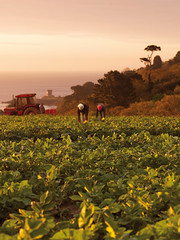 Farmers hand picking Jersey Royal Potatoes by Jerzzy Journey Boutique