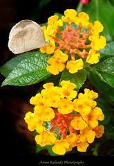 Let me Drink.... (aroon_kalandy) Tags: light india flower macro nature beauty butterfly creativity artistic awesome greatshot impressions naturelovers calicut lantanacamara beautifulshot anawesomeshot malayalikkoottam excellentsflowers sonyh50 vosplusbellesphotos aroonkalandy