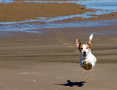The Flying dog - The strange case of the dog who jumped over his shadow (Franco Ferri Mala) Tags: travel shadow dog pet france colour beach animal flying nikon friend jr terrier aki 18200 jackrussel inthemood d80 colorphotoaward kernotart