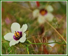 Ghostly Echo (fastcat!) Tags: france flower dordogne september 2009 hbw fantasticflower flickrsfantasticflowers vendoire