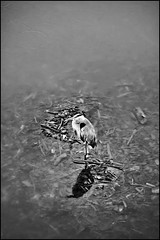 mississippi river bird (Dan Anderson (dead camera, RIP)) Tags: blackandwhite bw bird water minnesota river mississippi minneapolis mn muddy