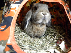 Mommy loves this funny little face <3 (unaerica) Tags: italy hairy pet pets cute rabbit bunny bunnies ikea nature beauty animals closeup fur outdoors nikon friend funny italia friendship princess sweet adorable fluffy happiness ears tent plush moustache occhi curious animali lapin tenderness tenda mypet coniglio cuccioli kanin coniglietto lopears orecchie unaerica pipola coniglietta coniglietti