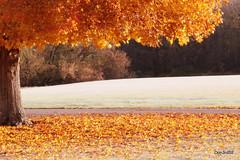 Falling Leaves (Don3rdSE) Tags: autumn color tree fall nature leaves yellow sunrise canon season landscape eos gold golden maple october natural iowa ia desmoines waterworkspark 50d abigfave canon50d platinumphoto platinumheartaward oltusfotos don3rdse